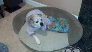 dog in fleece sweater laying down in bed